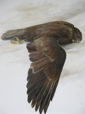 Study of a Buzzard